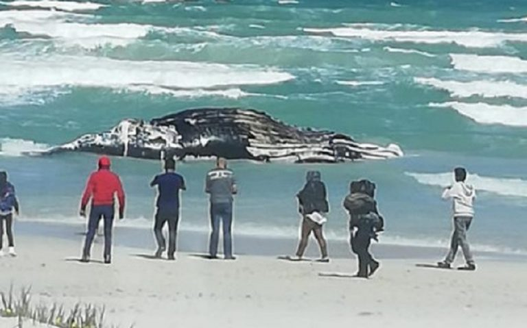 Whale carcass washed ashore in Strandfontein