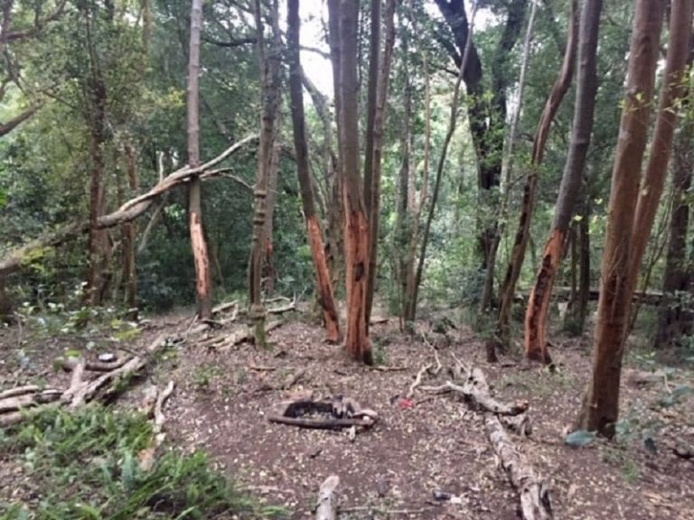 Illegal bark stripping on the increase in Newlands Forest
