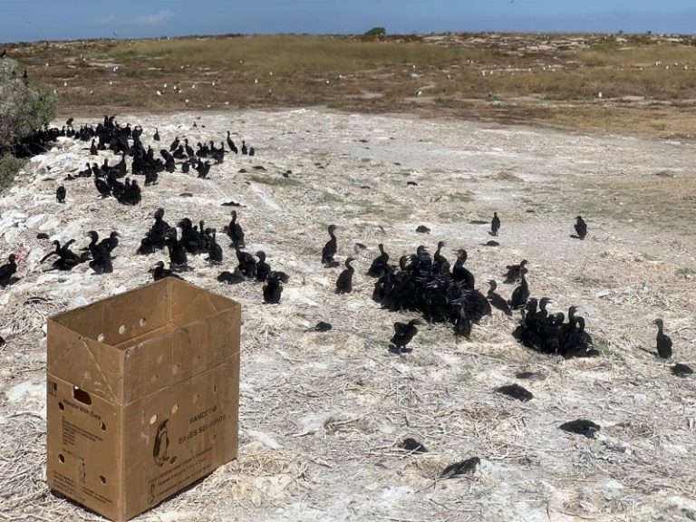 Cape cormorant chicks rescued