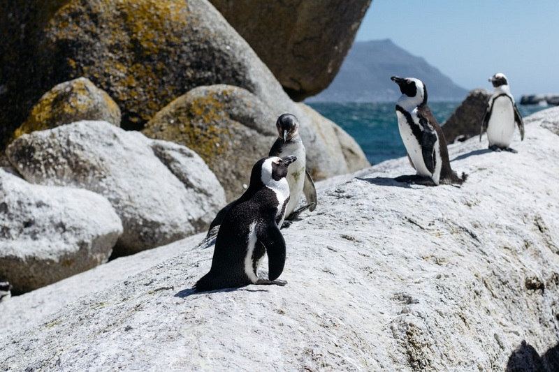 63 African penguins found dead in Simonstown